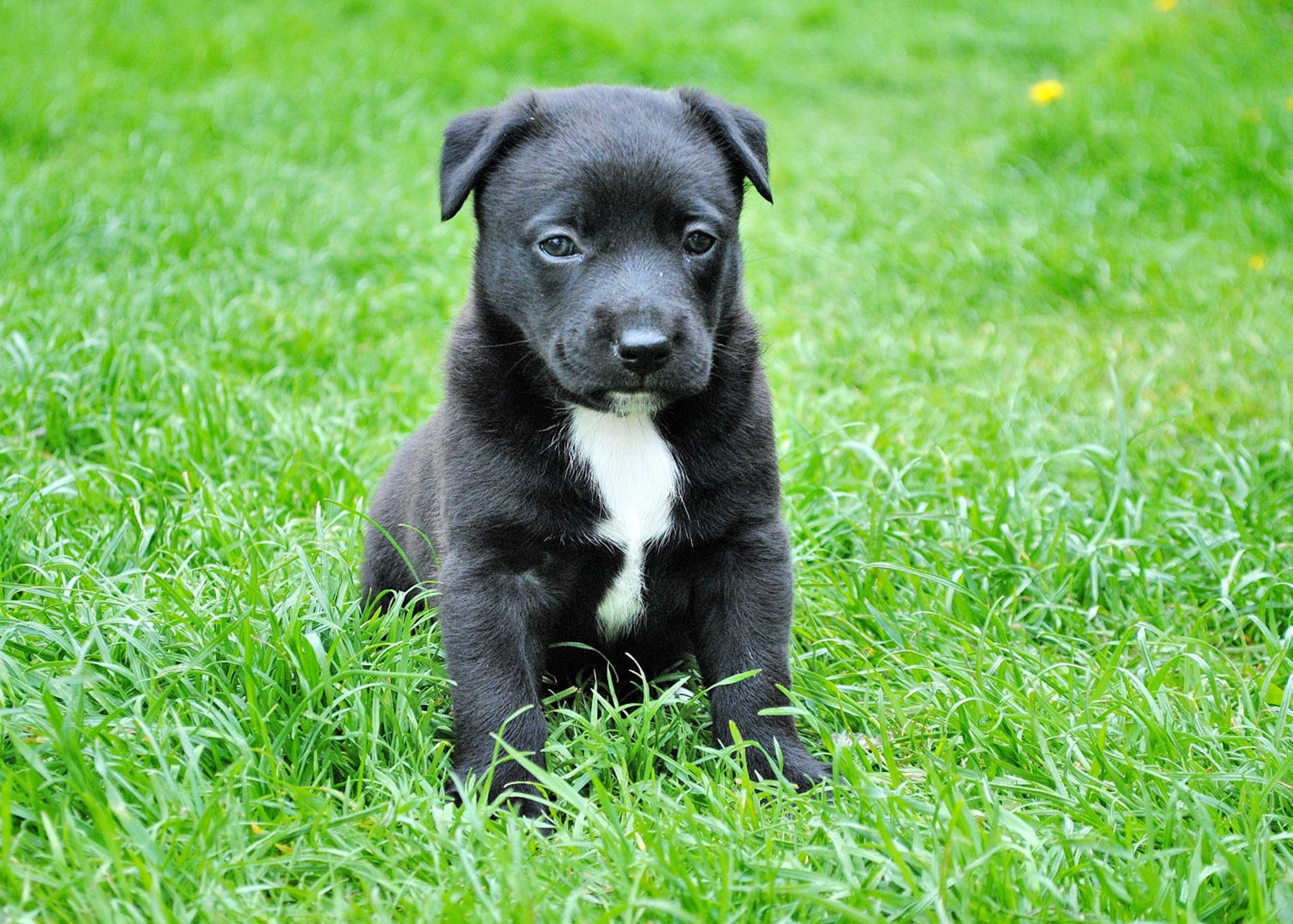A black puppy sits in the grass