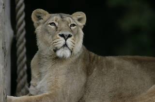 lion, london zoo