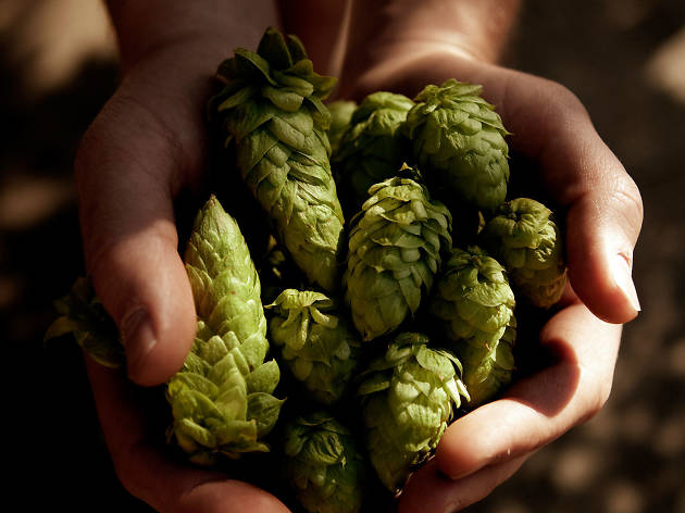 Hands holding fresh hop flowers