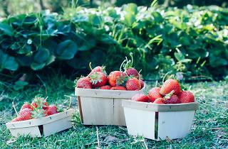 Strawberry picking around LA