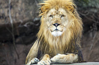 Lincoln Park Zoo Lion