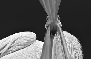 (Marsel van Oosten:  Walvis Bay, Namibia, curious pelican.  Overall winner, Travel Photographer of the Year 2015.)
