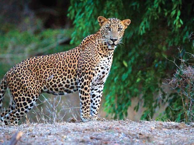 lk explore sri lanka Leopard watching in Yala