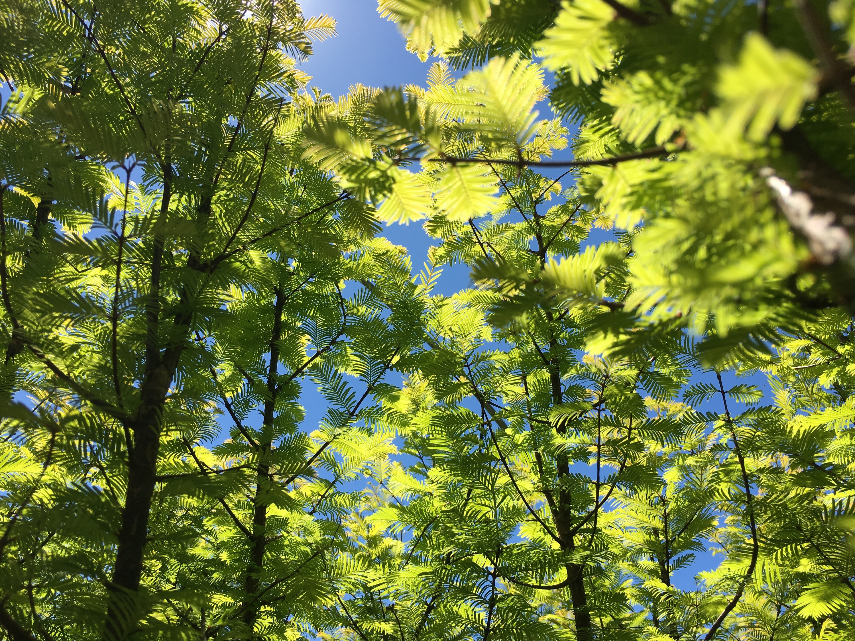 Mini-redwood trees to sprout in downtown Brooklyn