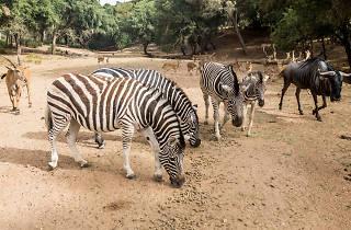 Zebras e outros animais no Badoca Safari Park