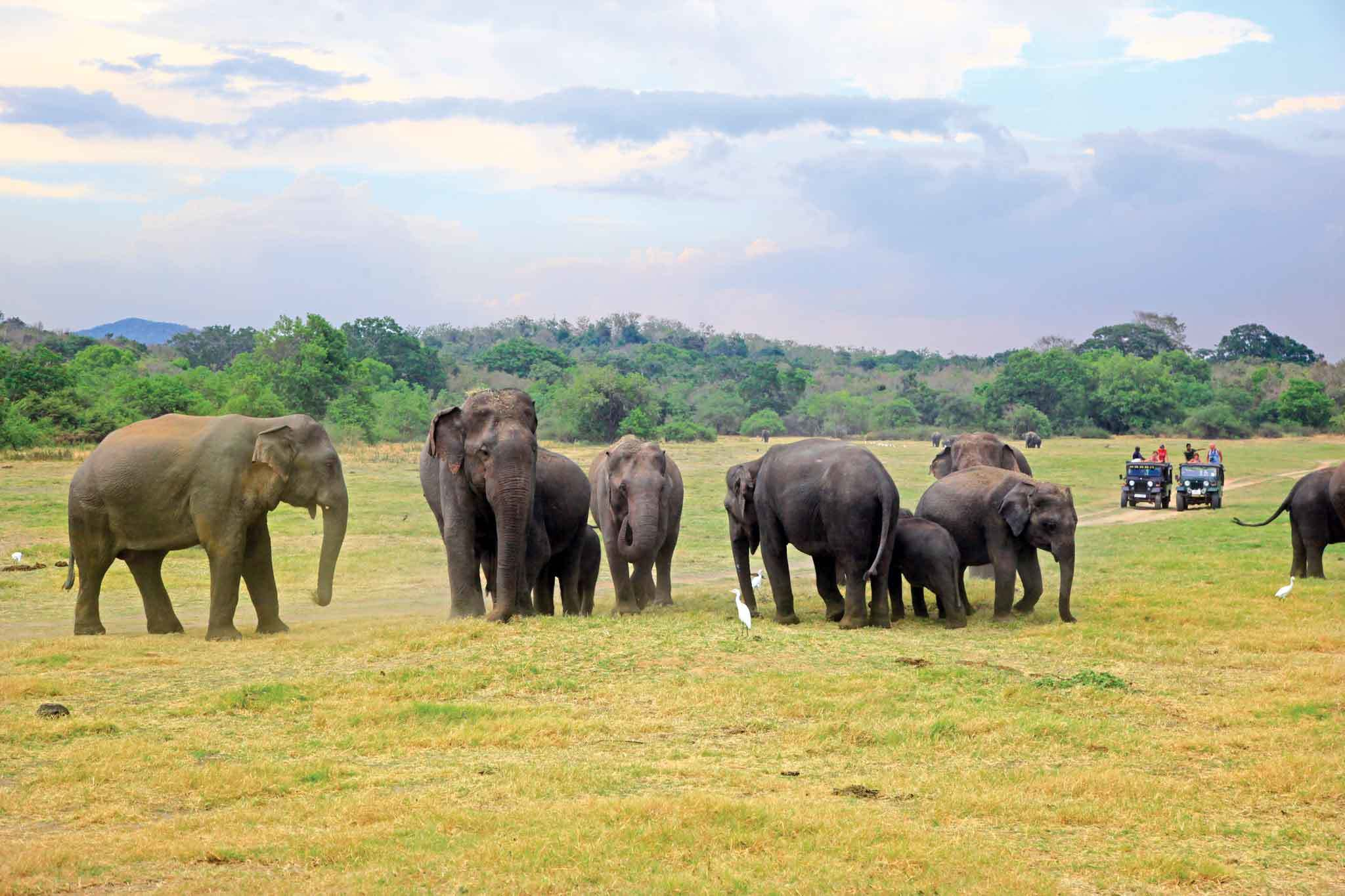 Watch elephants frolic in Minneriya