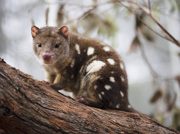 Conservation Ecology Centre, Tiger Quoll