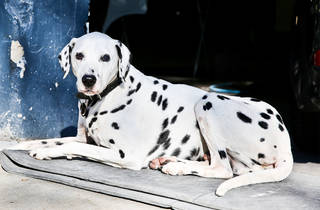 Pablo the dalmatian at Roslyn Motors Body Works SLOP
