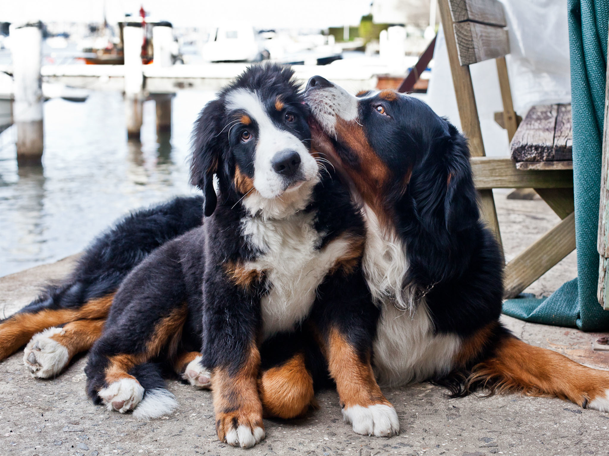 Harrison and Phoebe the Bernese Mountain Dogs at Ensemble Theatre SLOP