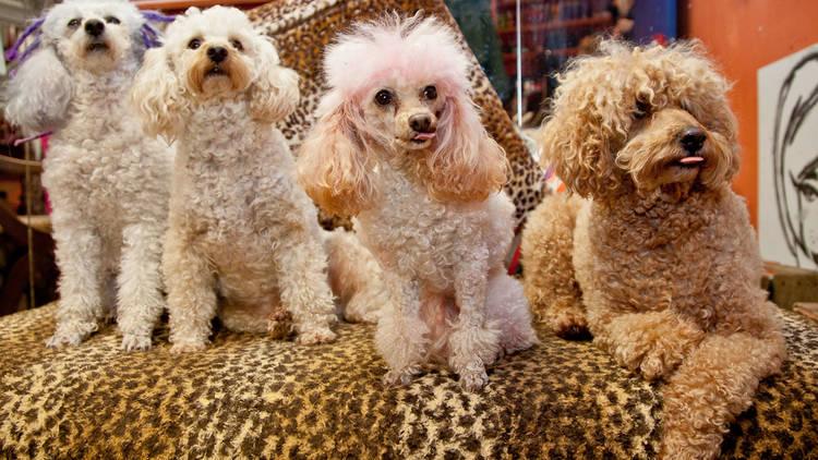 Jeffrey the poodle at Surry Cutters for Hair SLOP