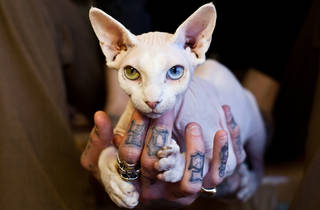 Bowie the hairless cat at Hawleywood's SLOP