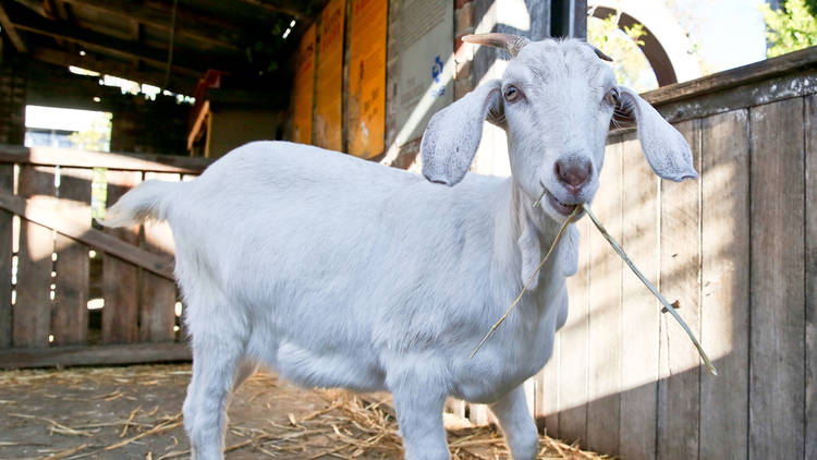 Naughty the goat at The Grounds SLOP