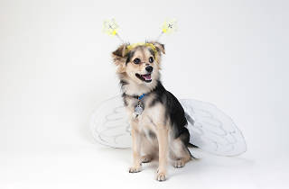 Dog in wing costume