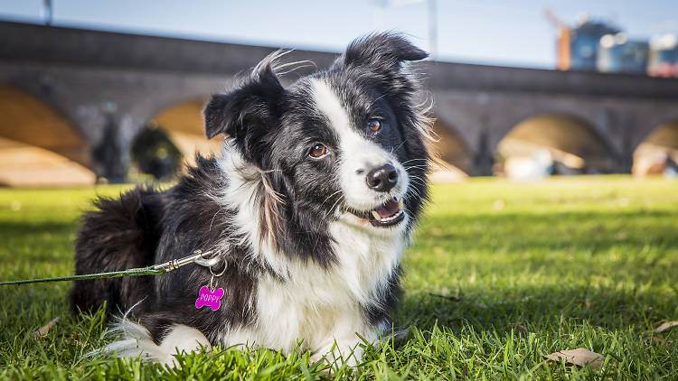 Border collie in a park