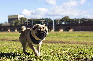 Mr Biscuit running in Wentworth Park
