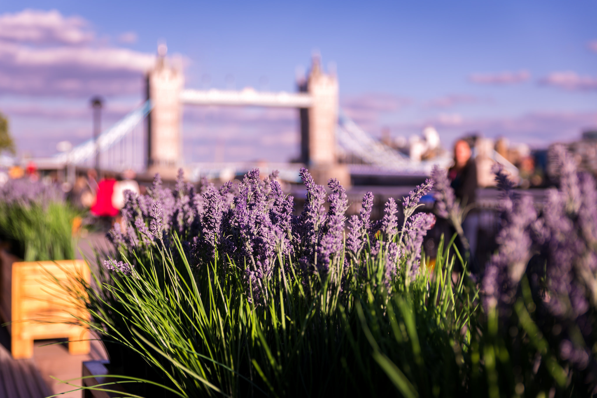 Lavender and Tower Bridge in the summer in London