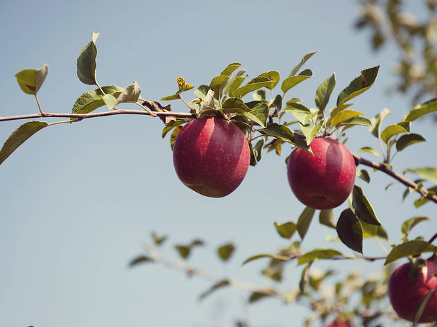 The best apple picking near Chicago