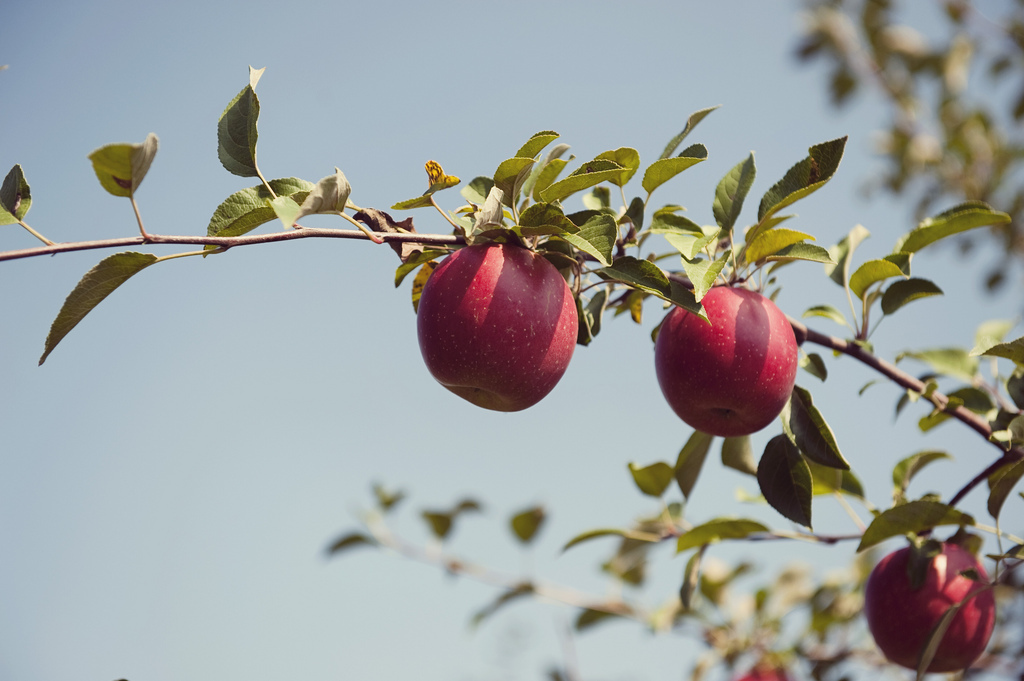 The best apple picking near Chicago