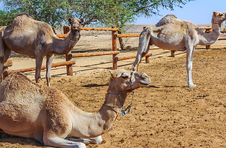 Fantastic Desert Voyage – Negev Camel Ranch
