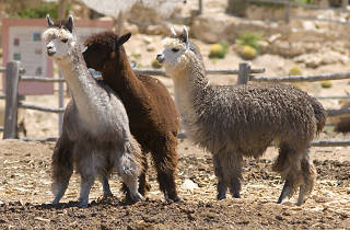 Alpaca Farm - the Ramon Crater