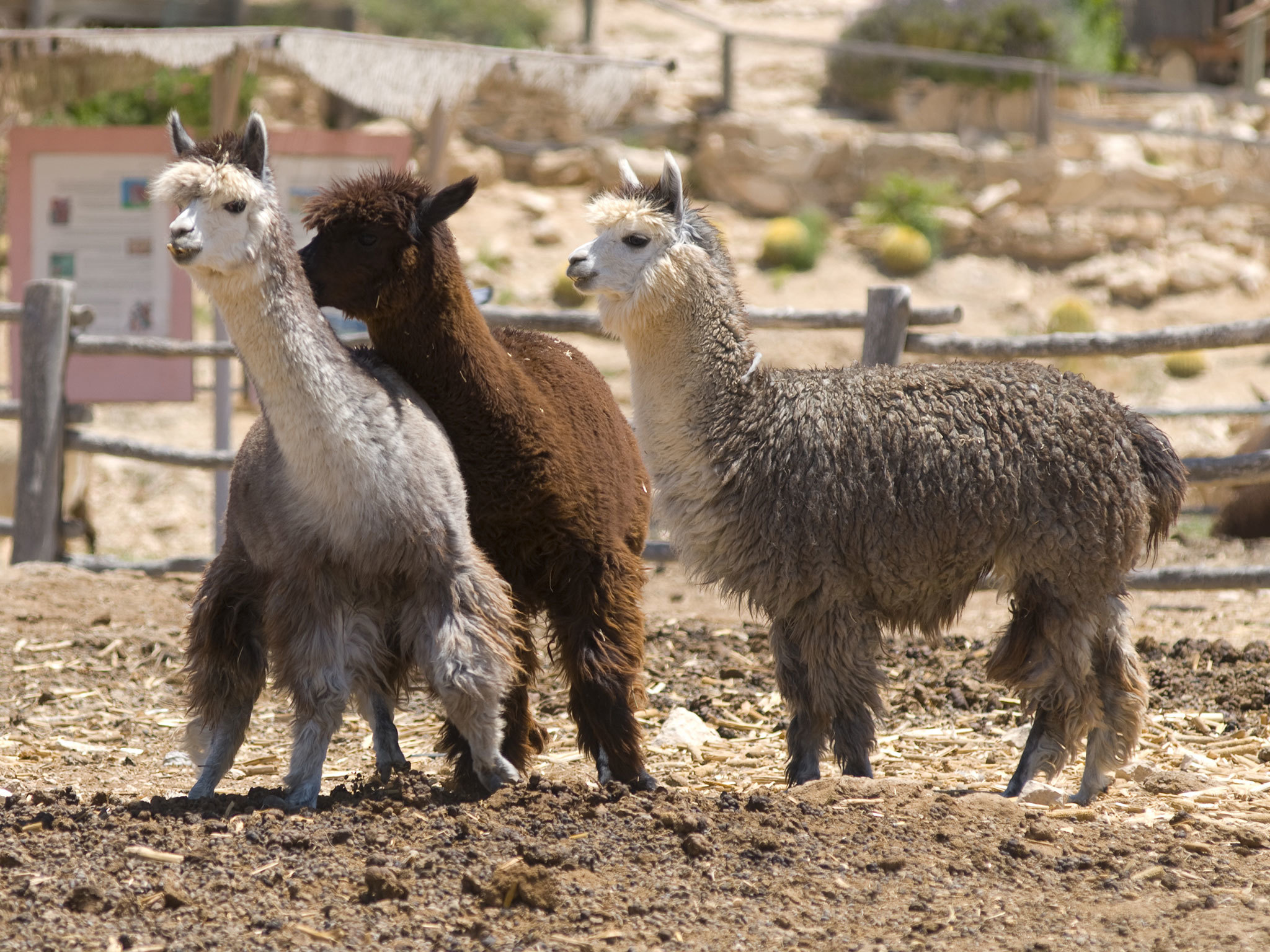 Alpaca Farm - the Ramon Crater
