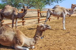 The Negev Camel Ranch - Bedouin Hospitality