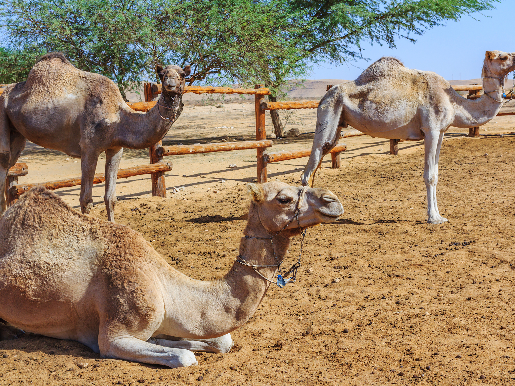 The Negev Camel Ranch - Bedouin Hospitality