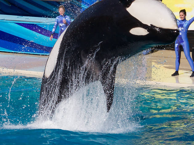 California bans orca captivity and breeding