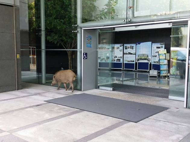 Long arm of the boar: A wild pig was found hanging out at Tsuen Wan police station this morning because why not, honestly