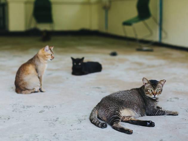 Because of Singapura kitties