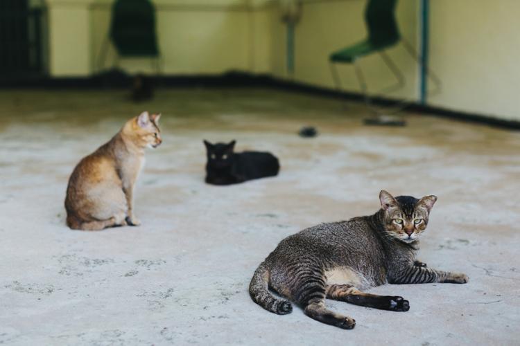 St John's Island, cats