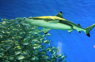 Requins Aquarium (© C.Gaillard/Nat Geo Wild)