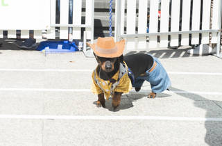 Annual Dachshund Race cowboy dog