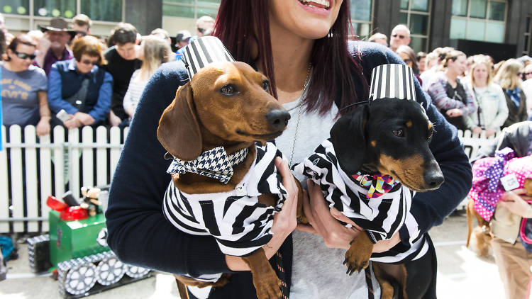 Sausage dogs in prisoner outfits