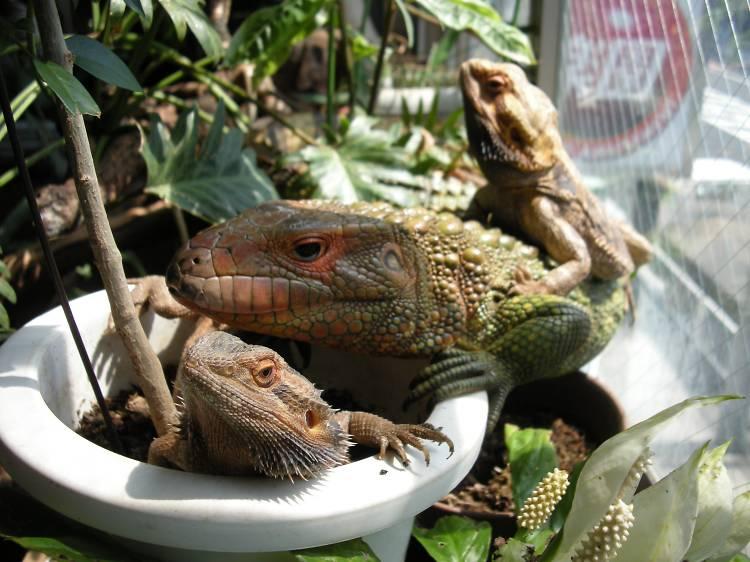 爬虫類とお茶する。