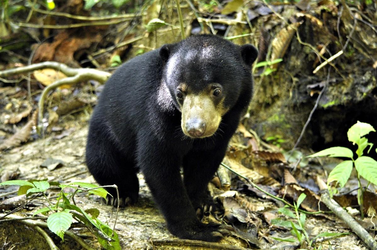 Borneo – sun bear