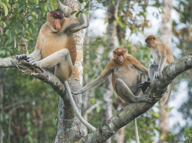Borneo – monkeys