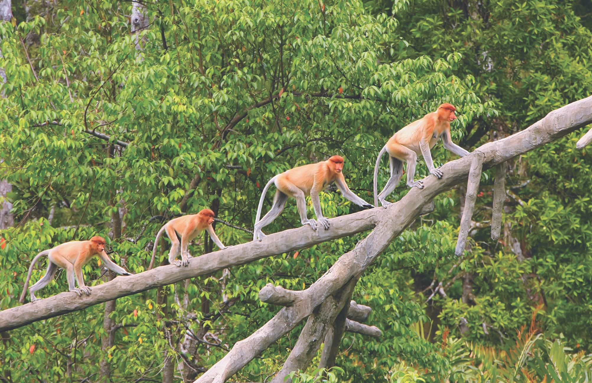 Borneo feature