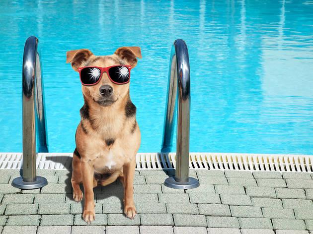 Dog at the pool