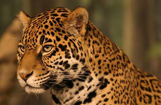 Salvemos al jaguar