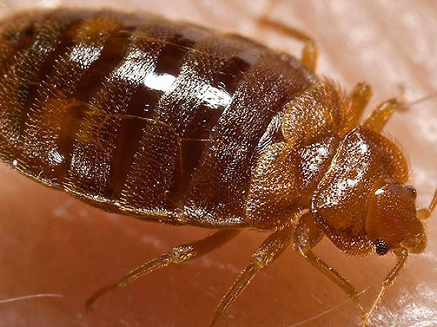 London is being infested with 'super bedbugs'