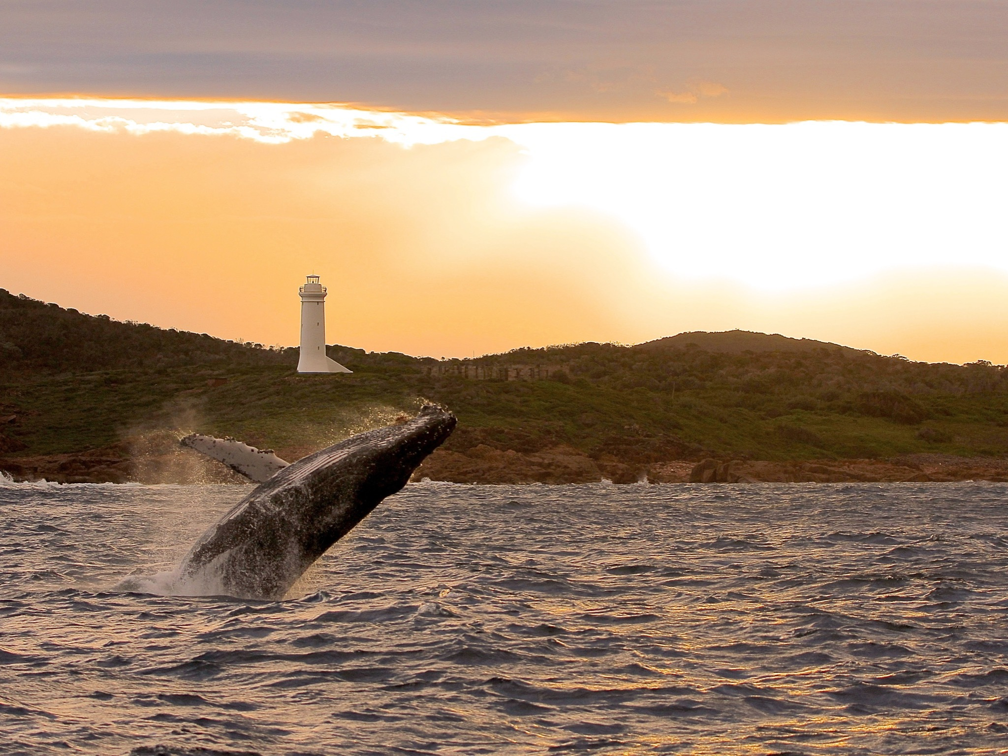 Photograph of whale breaching at sunset in Port Stephens