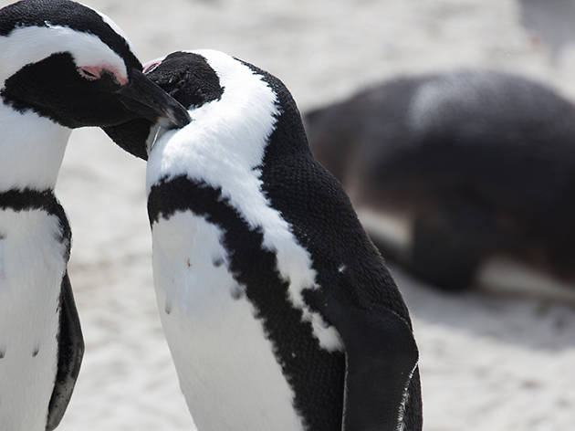 The Lincoln Park Zoo welcomes African penguin friends to their brand-new exhibit