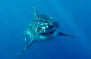 There's a nursery of nine great white sharks off the coast of Long Island