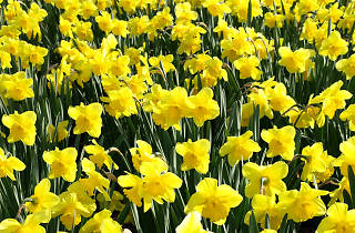 2,000 golden daffodils to be planted in Hell's Kitchen to honor 9/11 victims