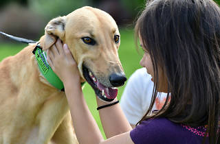A young girl patting a tan-coloured greyhound