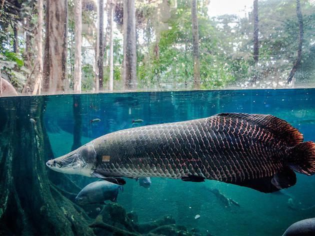 Peix del bosc inundat de CosmoCaixa
