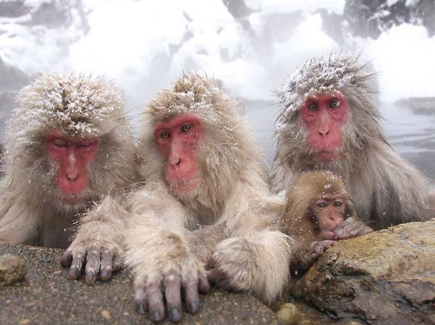 snow monkeys, japan tourism
