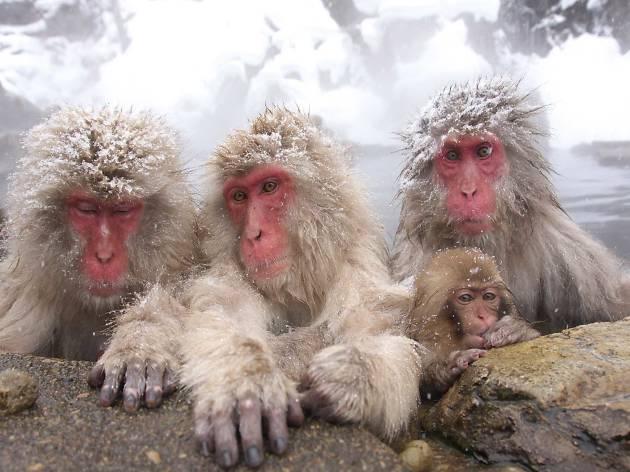 snow monkeys, japan tourism