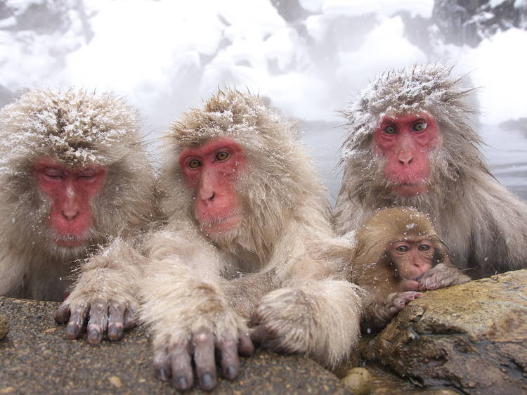 See Nagano's world-famous snow monkeys